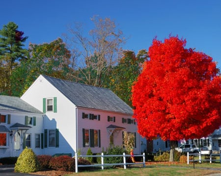 This is what the Autumn Blaze Maple tree from Fast-Growing-Trees.com will look like once it's full grown.