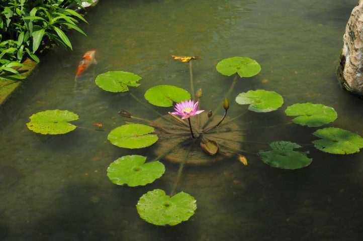 How to build a pond diy water garden supplies costs for Easy pond plants