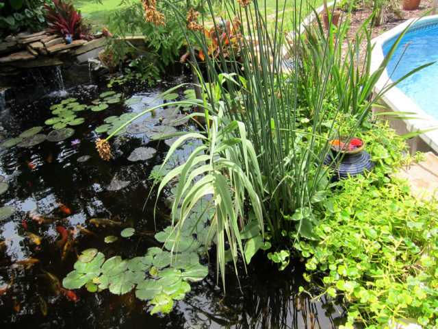 How to build a pond diy water garden supplies costs for Fish pond plants
