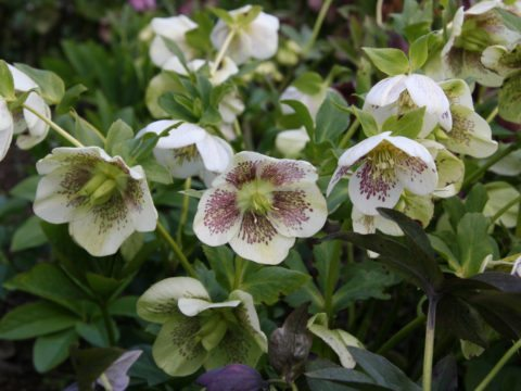 winter landscaping hellebores