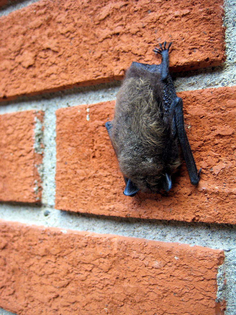 how to get rid of bats from your home or building the